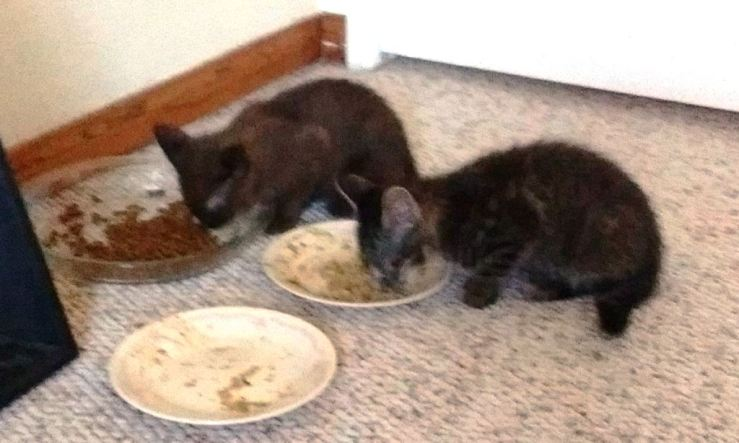 kittens eating